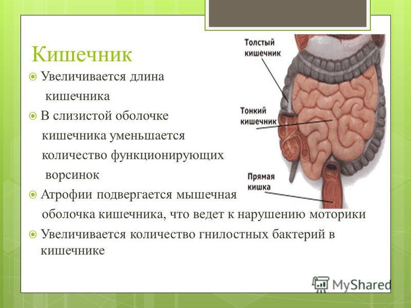 Кишечник Увеличивается длина кишечника В слизистой оболочке кишечника уменьшается количество функционирующих ворсинок Атрофии подвергается мышечная оболочка кишечника, что ведет к нарушению моторики Увеличивается количество гнилостных бактерий в кише