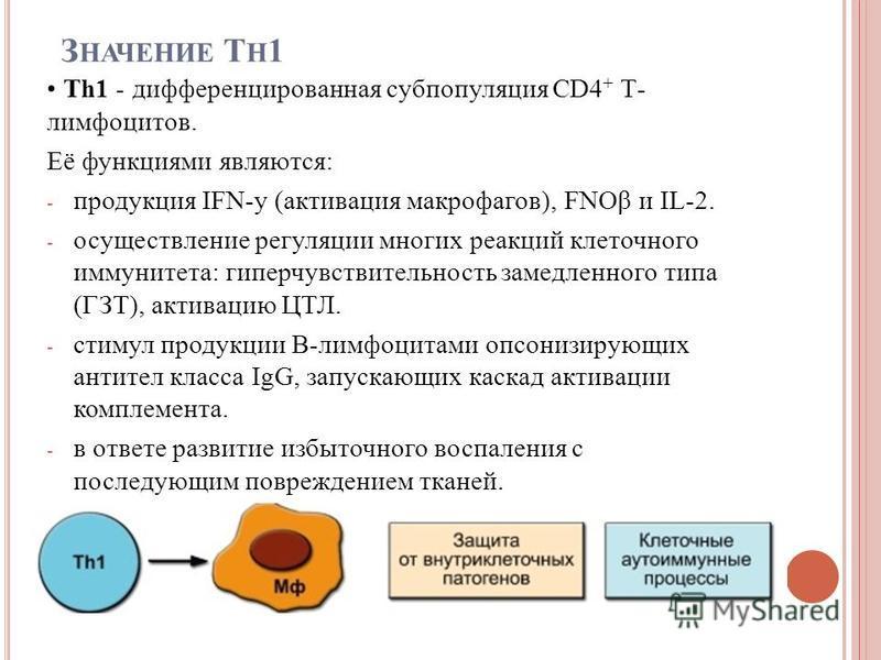 З НАЧЕНИЕ T H 1 Th1 - дифференцированная субпопуляция CD4 + Т- лимфоцитов. Её функциями являются: - продукция IFN-y (активация макрофагов), FNОβ и IL-2. - осуществление регуляции многих реакций клеточного иммунитета: гиперчувствительность замедленног