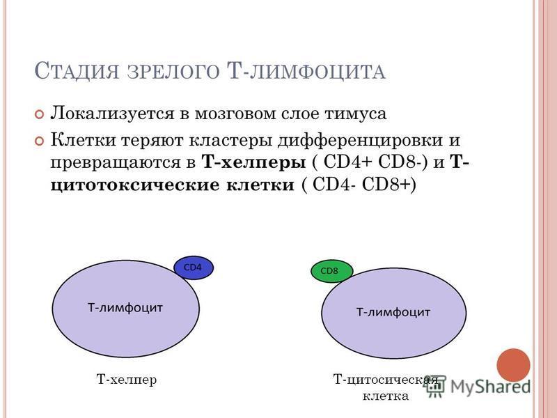 С ТАДИЯ ЗРЕЛОГО Т- ЛИМФОЦИТА Локализуется в мозговом слое тимуса Клетки теряют кластеры дифференцировки и превращаются в Т-хелперы ( CD4+ CD8-) и Т- цитотоксические клетки ( CD4- CD8+) Т-хелперТ-цитосическая клетка