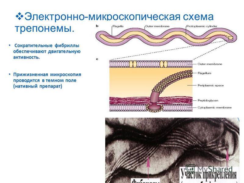 Электронно-микроскопическая схема трепонемы. Сократительные фибриллы обеспечивают двигательную активность. Сократительные фибриллы обеспечивают двигательную активность. Прижизненная микроскопия проводится в темном поле (нативный препарат) Прижизненна