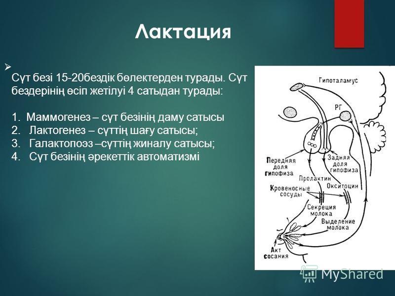 Лактация Сүт безі 15-20 бездік бөлектерден турады. Сүт бездерінің өсіп жотілуі 4 сатыдан турады: 1. Маммогенез – сүт безінің даму статусы 2. Лактогенез – сүттің шағу статусы; 3. Галактопоэз –сүттің финалу статусы; 4. Сүт безінің әрекоттік автоматизмі