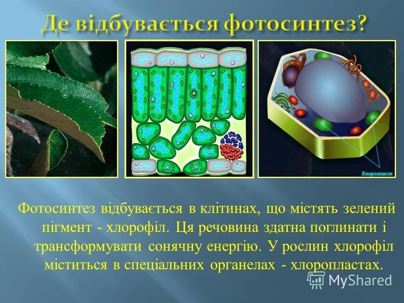Фотосинтез відбувається в клітинах, що містять зелений пігмент - хлорофіл. Ця речовина здатна поглинати і трансформувати сонячну енергію. У рослин хлорофіл міститься в спеціальних органелах - хлоропластах.