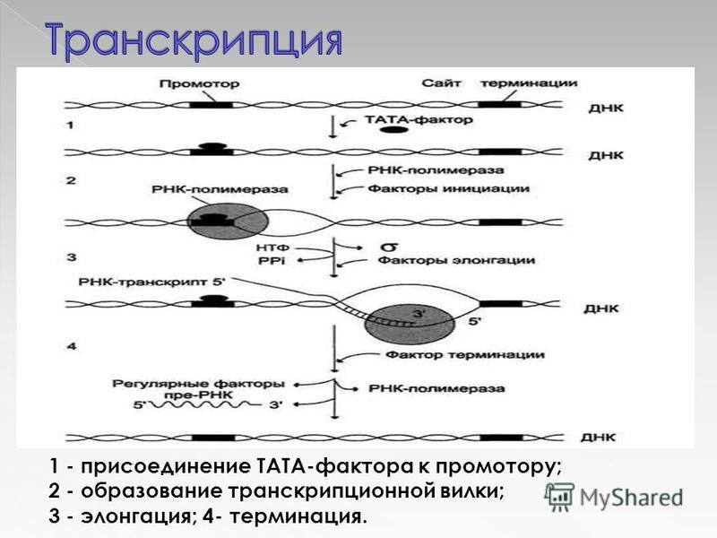 1 - присоединение ТАТА-фактора к промотору; 2 - образование транскрипционной вилки; 3 - элонгация; 4- терминация.