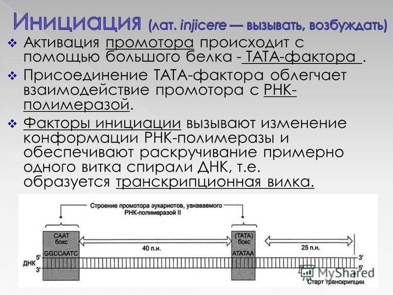 Активация промотора происходит с помощью большого белка - ТАТА-фактора. Присоединение ТАТА-фактора облегчает взаимодействие промотора с РНК- полимеразой. Факторы инициации вызывают изменение конформации РНК-полимеразы и обеспечивают раскручивание при