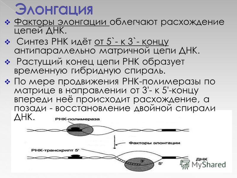 Факторы элонгации облегчают расхождение цепей ДНК. Синтез РНК идёт от 5`- к 3`- концу антипараллельно матричной цепи ДНК. Растущий конец цепи РНК образует временную гибридную спираль. По мере продвижения РНК-полимеразы по матрице в направлении от 3'-