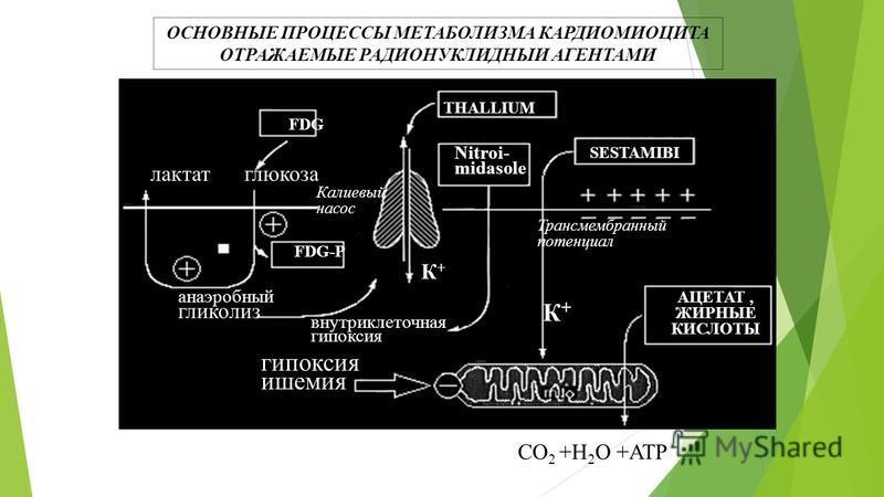 THALLIUM SESTAMIBI FDG FDG-P анаэробный гликолиз внутриклеточная гипоксия гипоксия ишемия Nitroi- midasole АЦЕТАТ, ЖИРНЫЕ КИСЛОТЫ глюкоза лактат Калиевый насос К+К+ К+К+ Трансмембранный потенциал СО 2 +Н 2 О +АТР ОСНОВНЫЕ ПРОЦЕССЫ МЕТАБОЛИЗМА КАРДИОМ