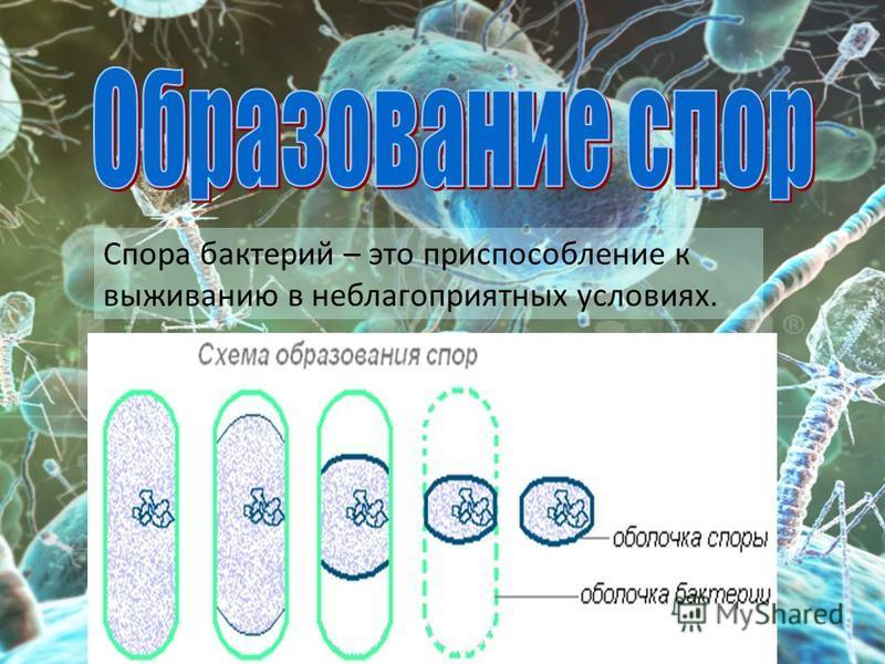 Спора бактерий – это приспособление к выживанию в неблагоприятных условиях.