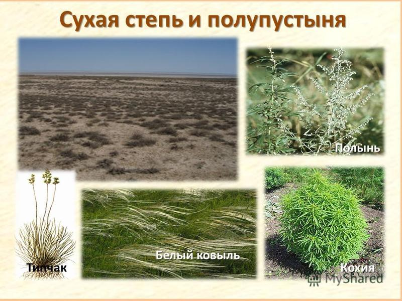 Сухая степь и полупустыня Типчак Белый ковыль Полынь Кохия