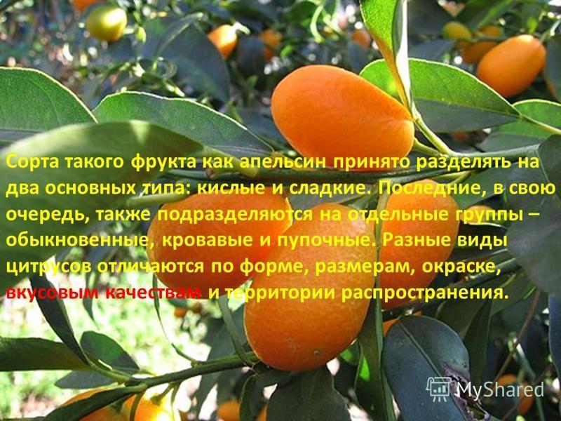 Сорта такого фрукта как апельсин принято разделять на два основных типа: кислые и сладкие. Последние, в свою очередь, также подразделяются на отдельные группы – обыкновенные, кровавые и пупочные. Разные виды цитрусов отличаются по форме, размерам, ок