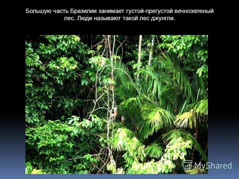 Большую часть Бразилии занимает густой-прегустой вечнозеленый лес. Люди называют такой лес джунгли.