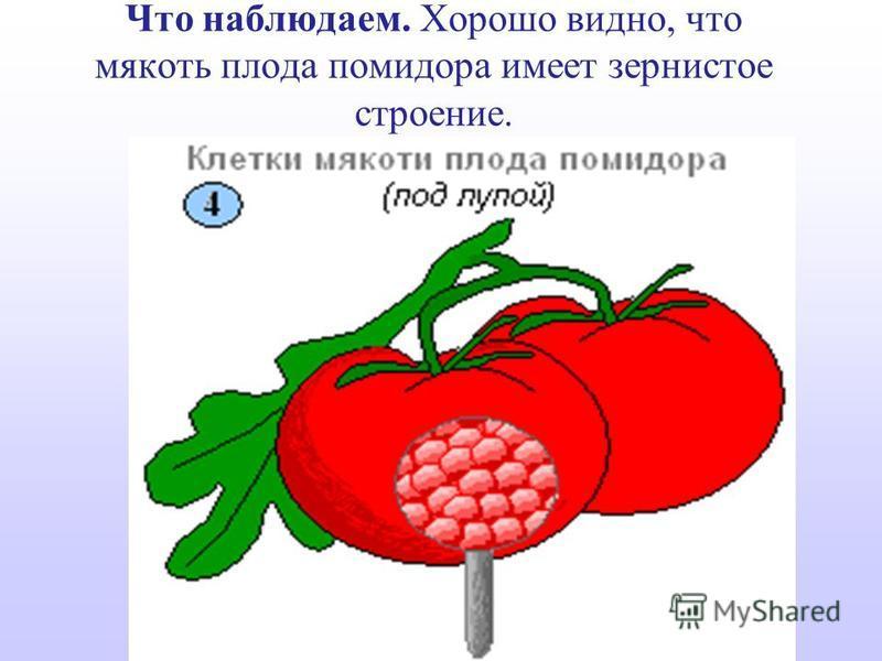 Что наблюдаем. Хорошо видно, что мякоть плода помидора имеет зернистое строение.