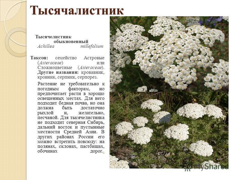 Тысячалистник Тысячелистник обыкновенный Achillea millefolium Таксон: семейство Астровые (Asteraceae) или Сложноцветные (Asteraceae). Другие названия: кровавник, кровник, серпник, серпорез. Растение не требовательно к погодным факторам, но предпочита