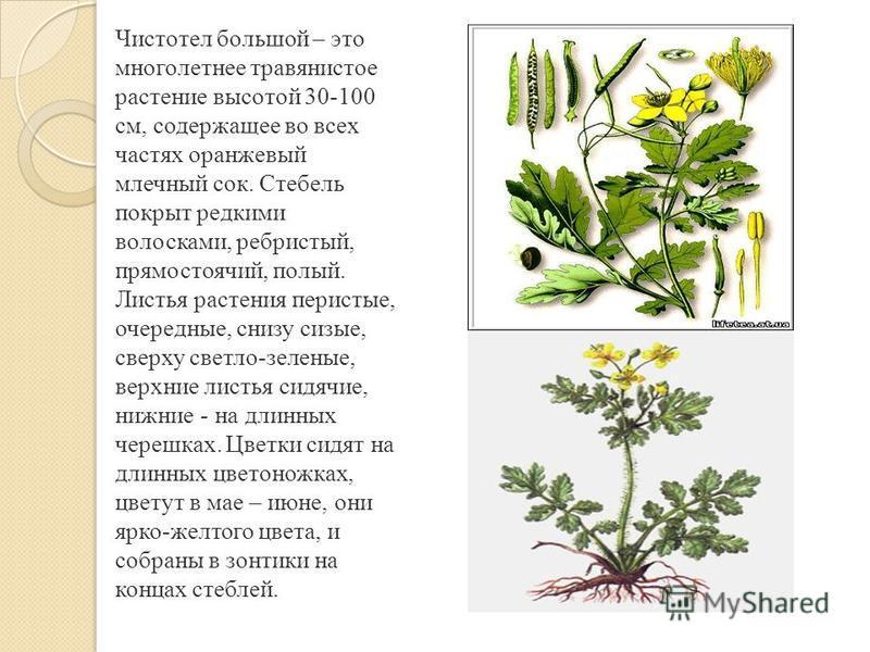 Чистотел большой – это многолетнее травянистое растение высотой 30-100 см, содержащее во всех частях оранжевый млечный сок. Стебель покрыт редкими волосками, ребристый, прямостоячий, полый. Листья растения перистые, очередные, снизу сизые, сверху све