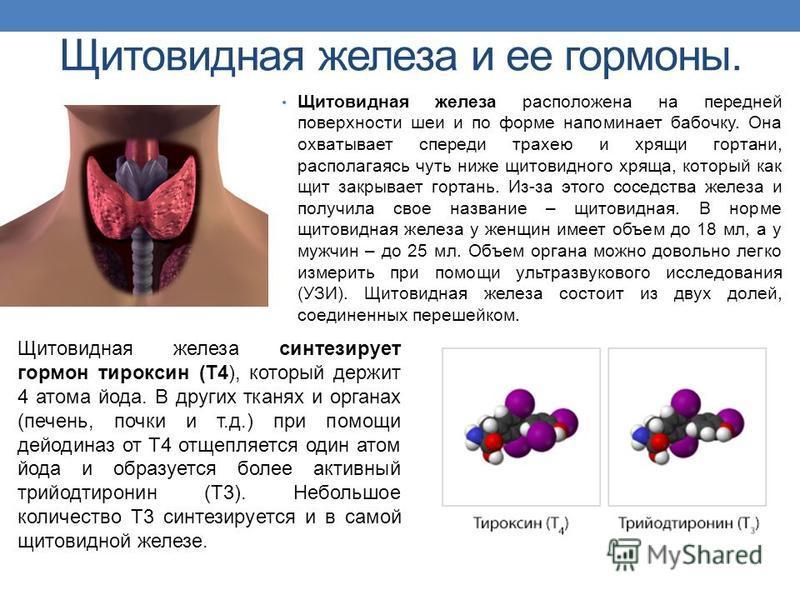 Щитовидная железа и ее гормоны. Щитовидная железа расположена на передней поверхности шеи и по форме напоминает бабочку. Она охватывает спереди трахею и хрящи гортани, располагаясь чуть ниже щитовидного хряща, который как щит закрывает гортань. Из-за
