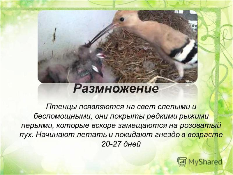 Размножение Птенцы появляются на свет слепыми и беспомощными, они покрыты редкими рыжими перьями, которые вскоре замещаются на розоватый пух. Начинают летать и покидают гнездо в возрасте 20-27 дней