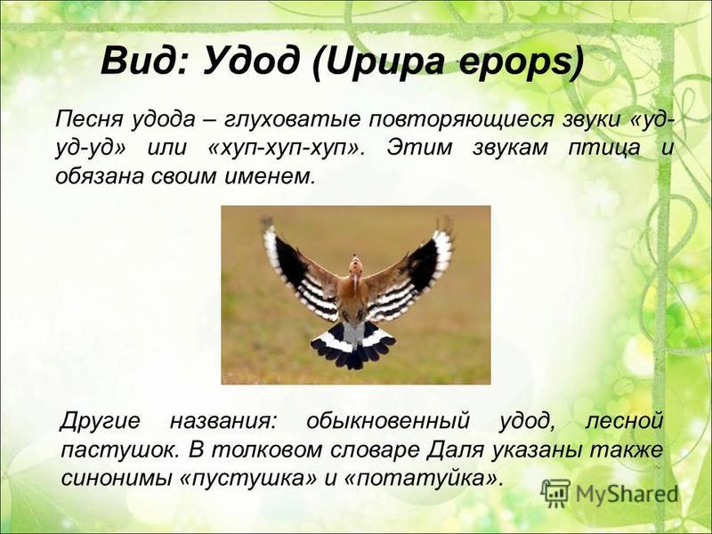 Песня удода – глуховатые повторяющиеся звуки «уд- уд-уд» или «хуп-хуп-хуп». Этим звукам птица и обязана своим именем. Другие названия: обыкновенный удод, лесной пастушок. В толковом словаре Даля указаны также синонимы «пастушка» и «потатуйка». Вид: У