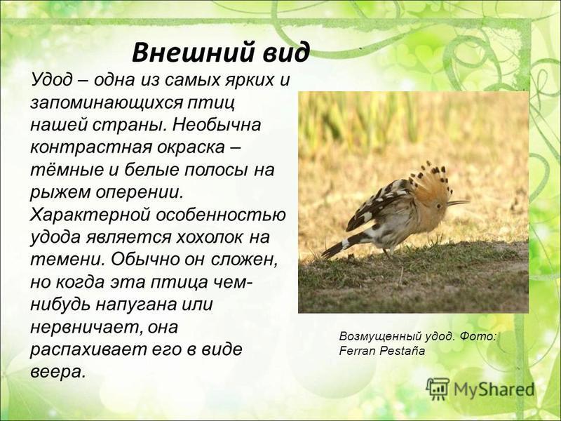 Внешний вид Удод – одна из самых ярких и запоминающихся птиц нашей страны. Необычна контрастная окраска – тёмные и белые полосы на рыжем оперении. Характерной особенностью удода является хохолок на темени. Обычно он сложен, но когда эта птица чем- ни