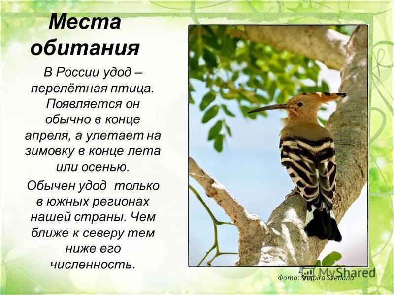 Места обитания В России удод – перелётная птица. Появляется он обычно в конце апреля, а улетает на зимовку в конце лета или осенью. Обычен удод только в южных регионах нашей страны. Чем ближе к северу тем ниже его численность. Фото: Shapira Svetlana