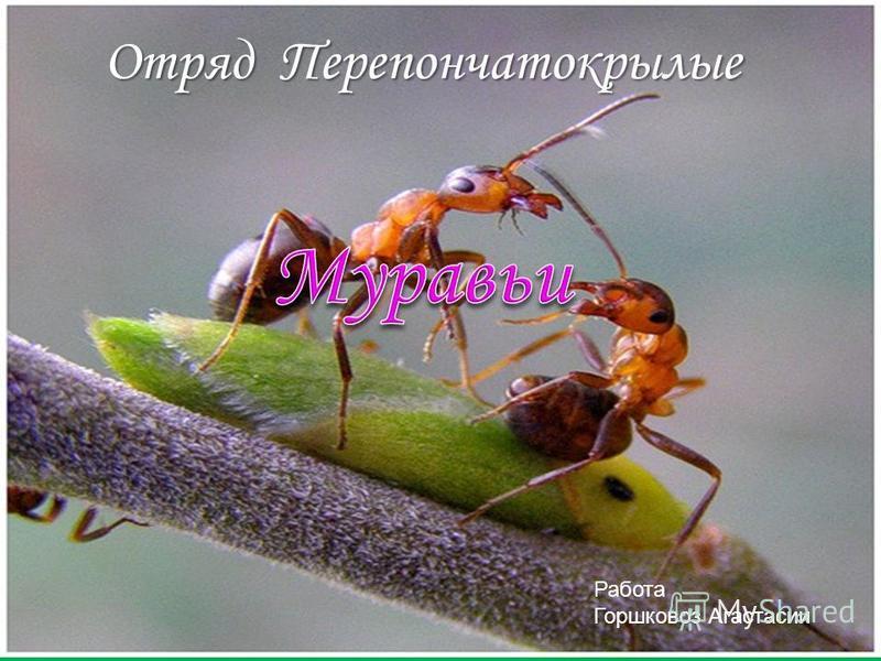 Работа Горшковоз Анастасии Отряд Перепончатокрылые Работа Горшковоз Агастасии