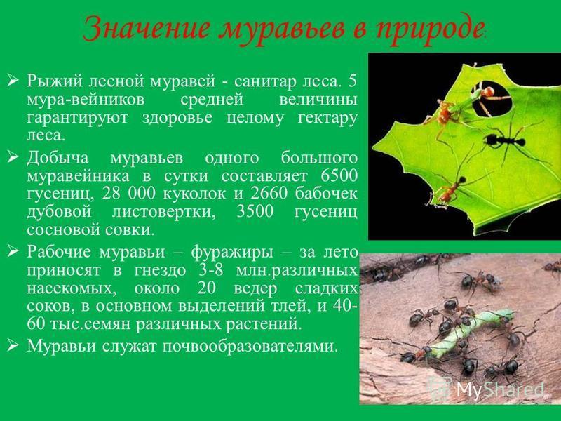 Значение муравьев в природе : Рыжий лесной муравей - санитар леса. 5 мура-вейников средней величины гарантируют здоровье целому гектару леса. Добыча муравьев одного большого муравейника в сутки составляет 6500 гусениц, 28 000 куколок и 2660 бабочек д