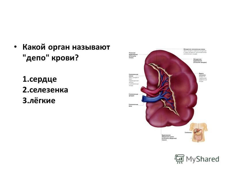 Какой орган называют депо крови? 1. сердце 2. селезенка 3.лёгкие