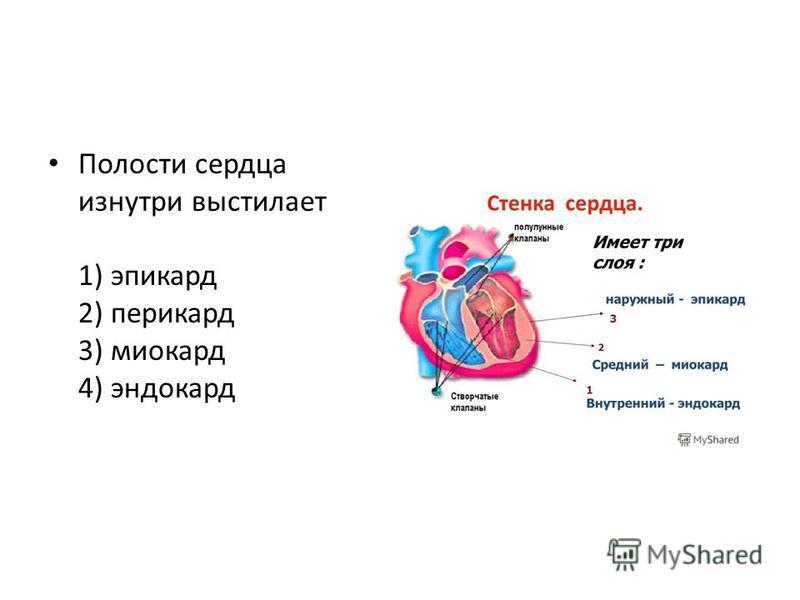 Полости сердца изнутри выстилает 1) эпикард 2) перикард 3) миокард 4) эндокард