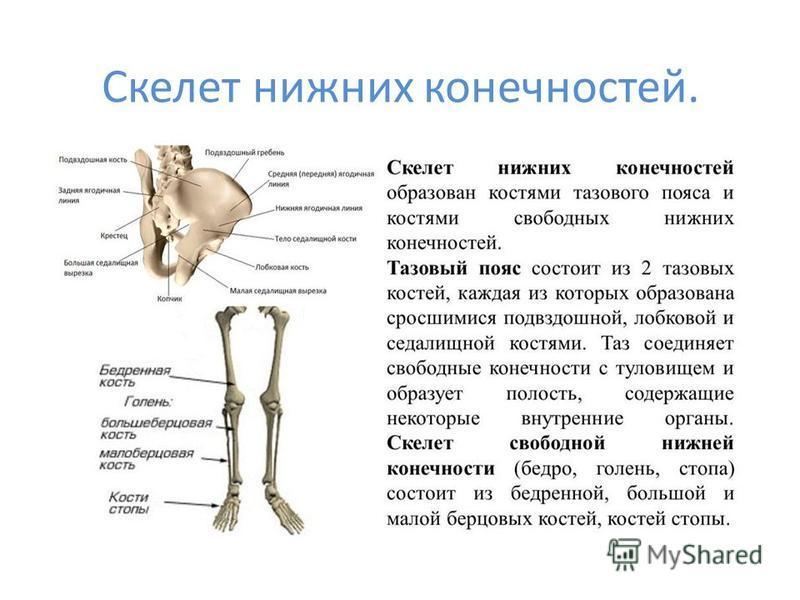 Скелет нижних конечностей.