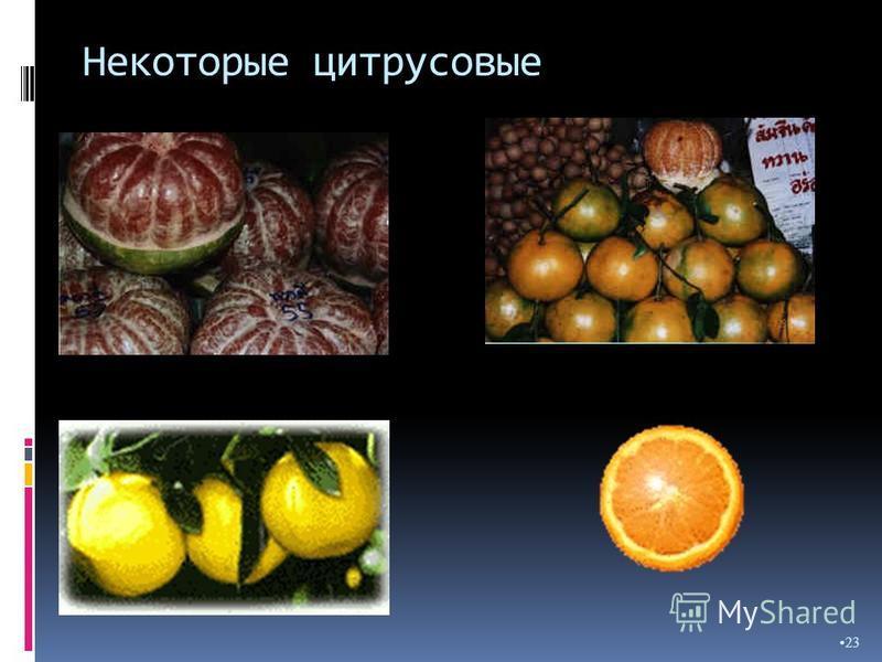 Некоторые цитрусовые 23