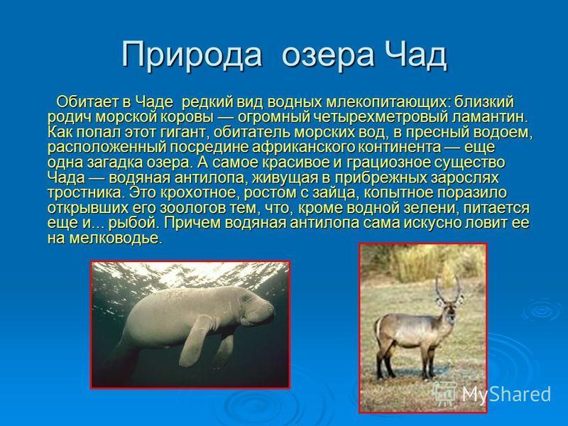 Природа озера Чад Обитает в Чаде редкий вид водных млекопитающих: близкий родич морской коровы огромный четырехметровый ламантин. Как попал этот гигант, обитатель морских вод, в пресный водоем, расположенный посредине африканского континента еще одна