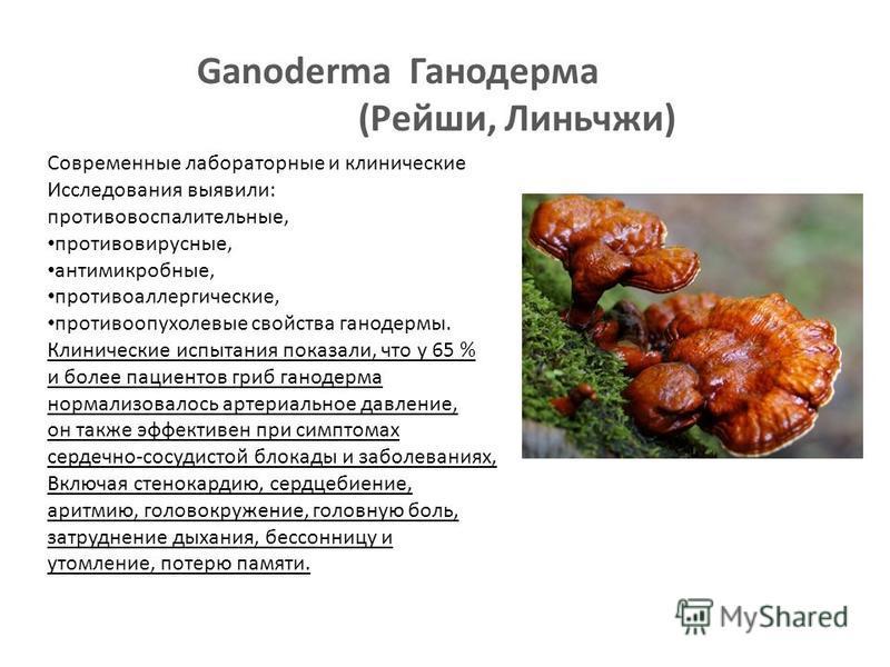 Ganoderma Ганодерма (Рейши, Линьчжи) Современные лабораторные и клинические Исследования выявили: противовоспалительные, противовирусные, антимикробные, противоаллергические, противоопухолевые свойства ганодермы. Клинические испытания показали, что у