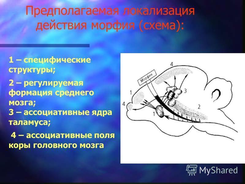 Предполагаемая локализация действия морфия (схема): 1 – специфические структуры; 2 – регулируемая формация среднего мозга; 3 – ассоциативные ядра таламуса; 4 – ассоциативные поля коры головного мозга