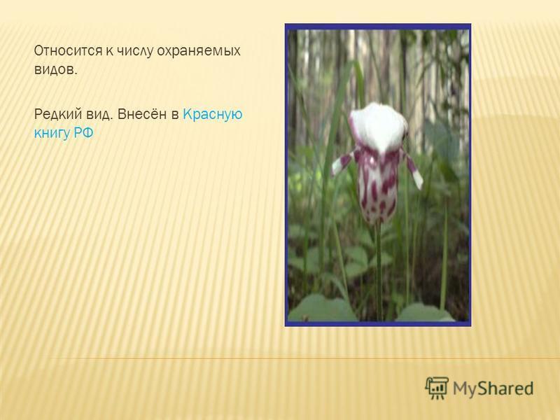 Травянистый многолетник с длинным и тонким ползучим корневищем. Корневище растёт очень медленно 2- 4 мм в год. Зацветает обычно на 18 год, цветёт в июне-начале июля. Соцветие закладывается в почке заранее-на 2 года до цветения.