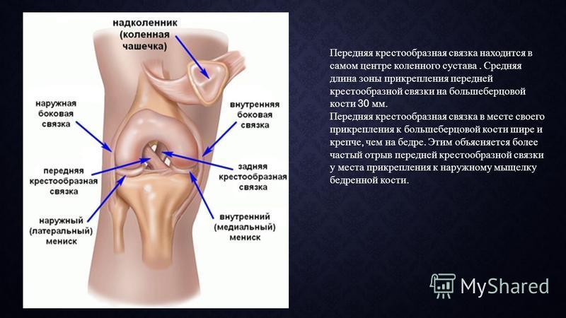 Передняя крестообразная связка находится в самом центре коленного сустава. Средняя длина зоны прикрепления передней крестообразной связки на большеберцовой кости 30 мм. Передняя крестообразная связка в месте своего прикрепления к большеберцовой кости