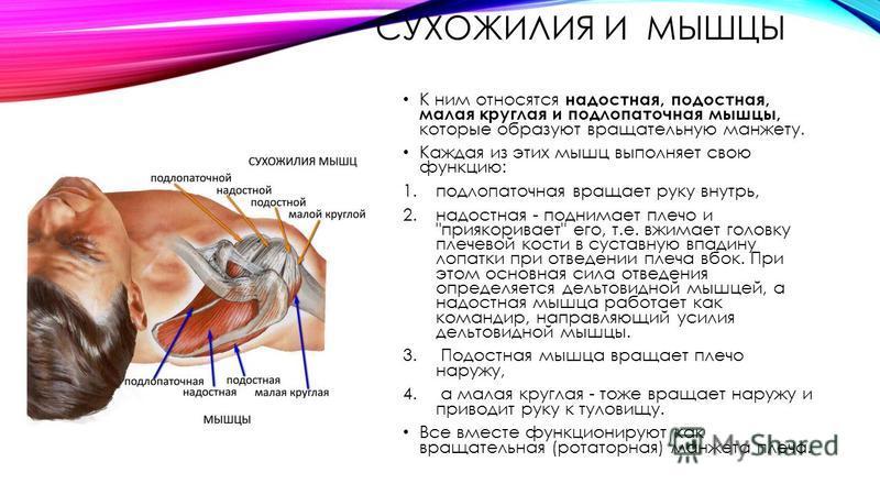 СУХОЖИЛИЯ И МЫШЦЫ К ним относятся надостная, подостная, малая круглая и подлопаточная мышцы, которые образуют вращательную манжету. Каждая из этих мышц выполняет свою функцию: 1. подлопаточная вращает руку внутрь, 2. надостная - поднимает плечо и