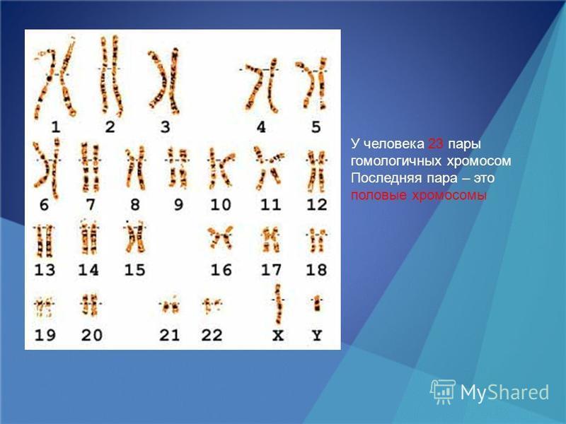 У человека 23 пары гомологичных хромосом Последняя пара – это половые хромосомы