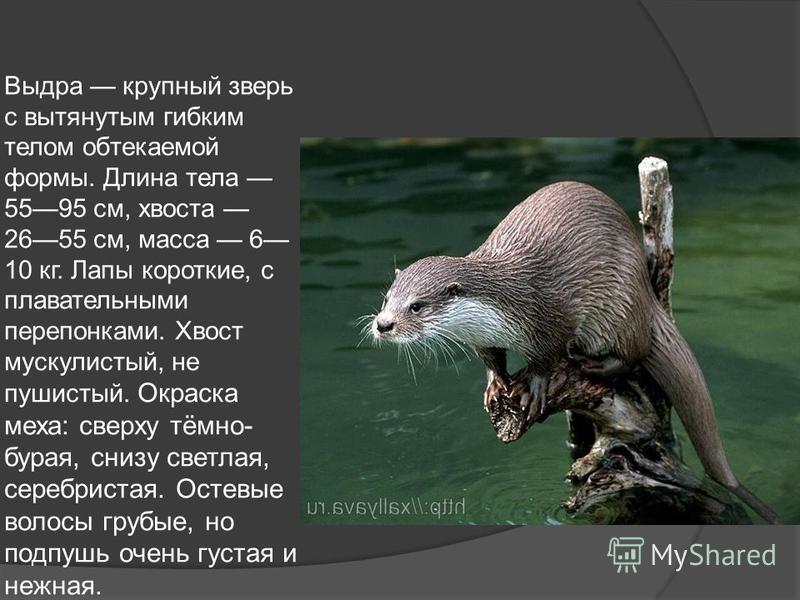 Выдура крупный зверь с вытянутым гибким телом обтекаемой формы. Длина тела 5595 см, хвоста 2655 см, масса 6 10 кг. Лапы короткие, с плавательными перепонками. Хвост мускулистый, не пушистый. Окраска меха: сверху тёмно- бурая, снизу светлая, серебрист