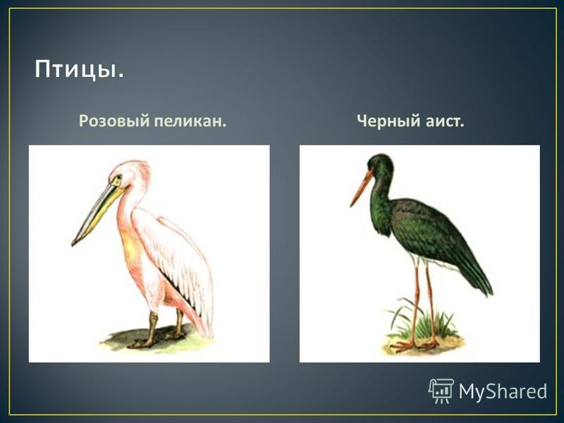 Розовый пеликан. Черный аист.