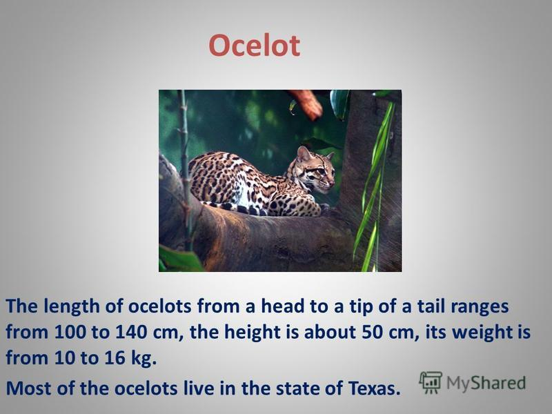 Ocelot The length of ocelots from a head to a tip of a tail ranges from 100 to 140 cm, the height is about 50 cm, its weight is from 10 to 16 kg. Most of the ocelots live in the state of Texas.