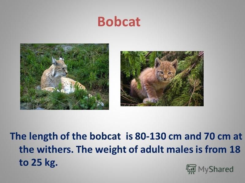 Bobcat The length of the bobcat is 80-130 cm and 70 cm at the withers. The weight of adult males is from 18 to 25 kg.