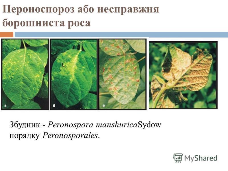 Пероноспороз або несправжня борошниста роса Збудник - Peronospora manshuricaSydow порядку Peronosporales.