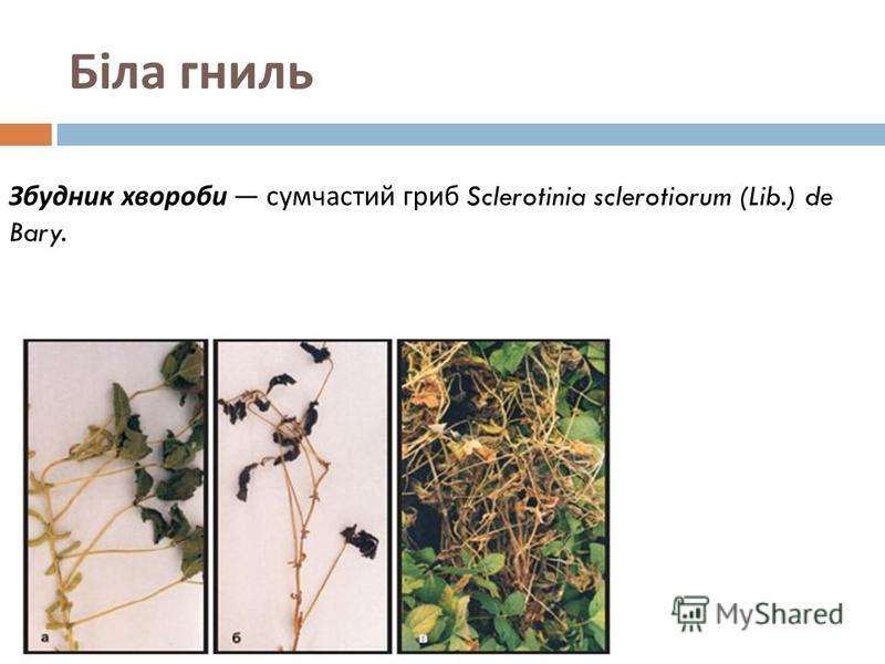 Біла гниль Збудник хвороби сумчастий гриб Sclerotinia sclerotiorum (Lib.) de Bary.