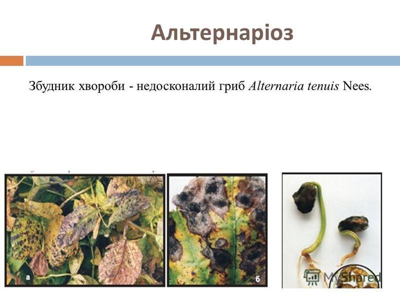 Альтернаріоз Збудник хвороби - недосконалий гриб Alternaria tenuis Nees.