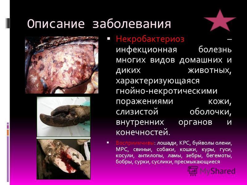 Описание заболевания Некробактериоз – инфекционная болезнь многих видов домашних и диких животных, характеризующаяся гнойно-некротическими поражениями кожи, слизистой оболочки, внутренних органов и конечностей. Восприимчивы: лошади, КРС, буйволы олен