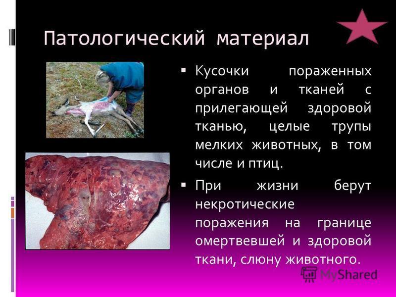 Патологический материал Кусочки пораженных органов и тканей с прилегающей здоровой тканью, целые трупы мелких животных, в том числе и птиц. При жизни берут некротические поражения на границе омертвевшей и здоровой ткани, слюну животного.