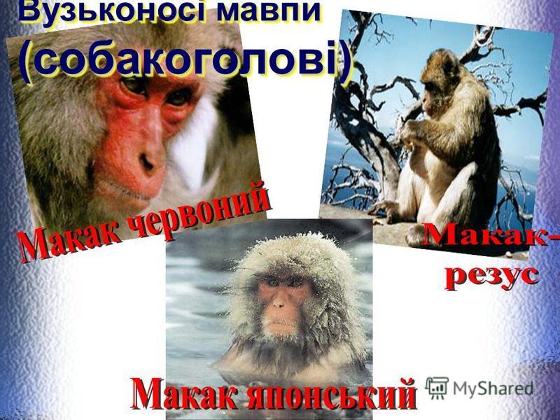 Представники (мавпи, широконосі)