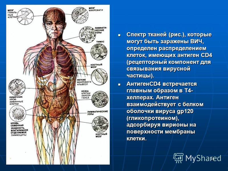 16 Спектр тканей (рис.), которые могут быть заражены ВИЧ, определен распределением клеток, имеющих антиген CD4 (рецепторный компонент для связывания вирусной частицы). Спектр тканей (рис.), которые могут быть заражены ВИЧ, определен распределением кл