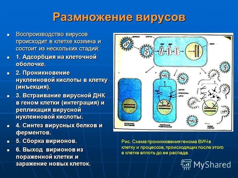 7 Размножение вирусов Воспроизводство вирусов происходит в клетке хозяина и состоит из нескольких стадий: Воспроизводство вирусов происходит в клетке хозяина и состоит из нескольких стадий: 1. Адсорбция на клеточной оболочке. 1. Адсорбция на клеточно