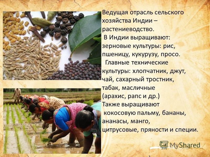 Ведущая отрасль сельского хозяйства Индии – растениеводство. В Индии выращивают: зерновые культуры: рис, пшеницу, кукурузу, просо. Главные технические культуры: хлопчатник, джут, чай, сахарный тростник, табак, масличные (арахис, рапс и др.) Также выр