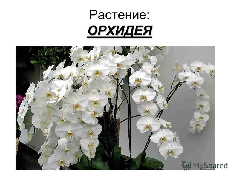ОРХИДЕЯ Растение: ОРХИДЕЯ