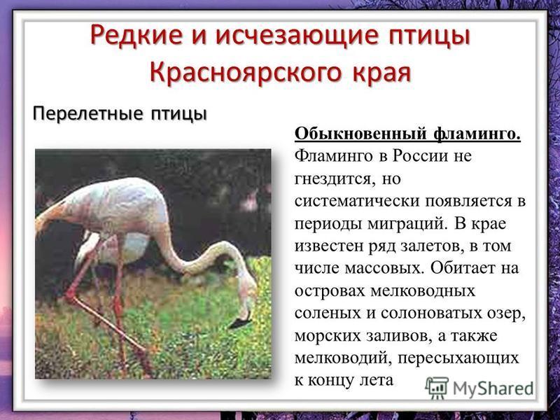 Редкие и исчезающие птицы Красноярского края Перелетные птицы Обыкновенный фламинго. Фламинго в России не гнездится, но систематически появляется в периоды миграций. В крае известен ряд залетов, в том числе массовых. Обитает на островах мелководных с